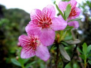 IMG_6170 Rhododendron lepidotum