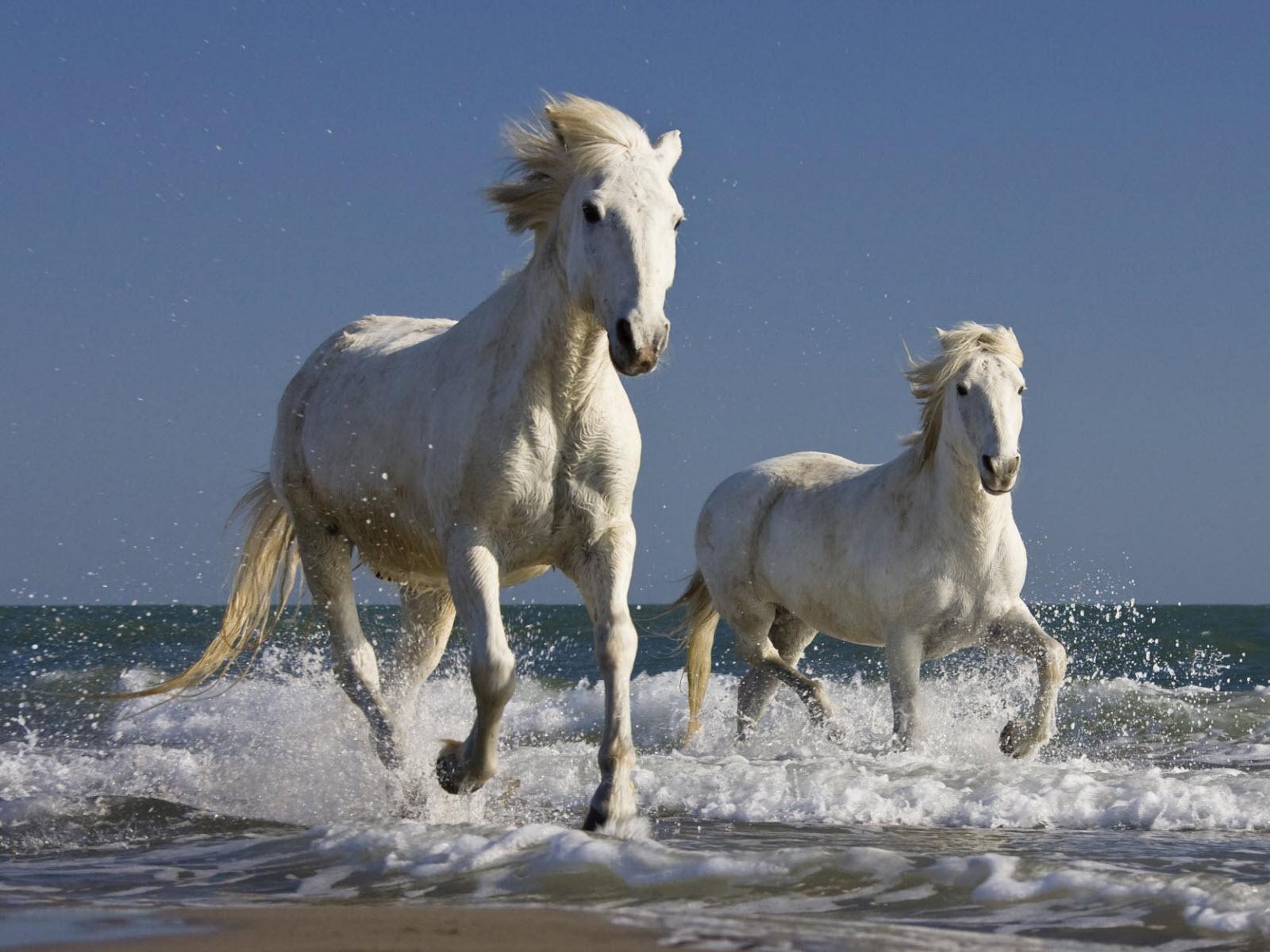 Wild White Horses Many Roads